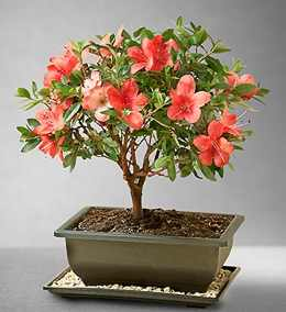 mothers day bonsai trees